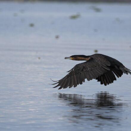kenya, bird, lake, Canon EOS 60D