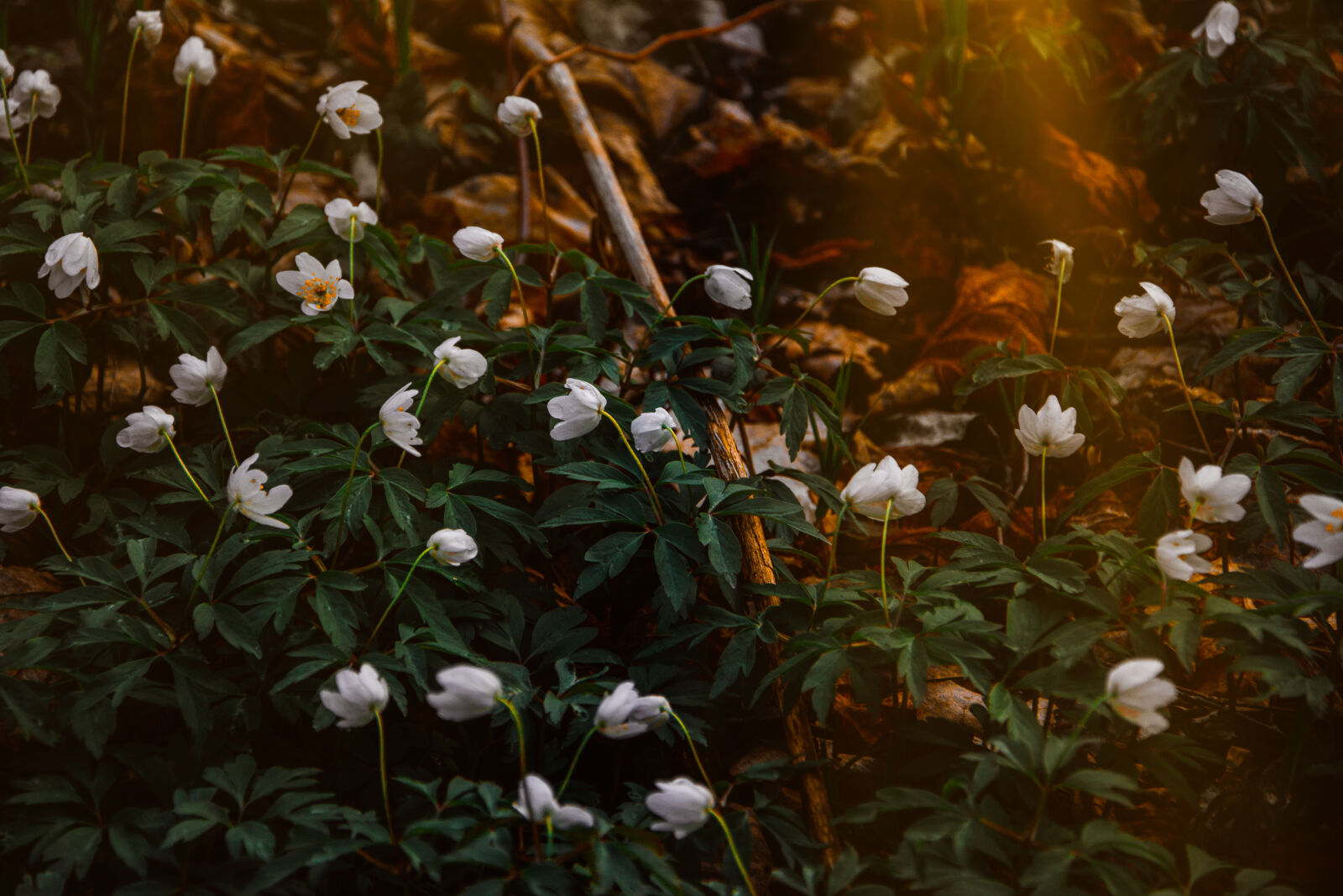 "Nikon D5200 sample photo. ""Photo, of, white, flowers"" photography"