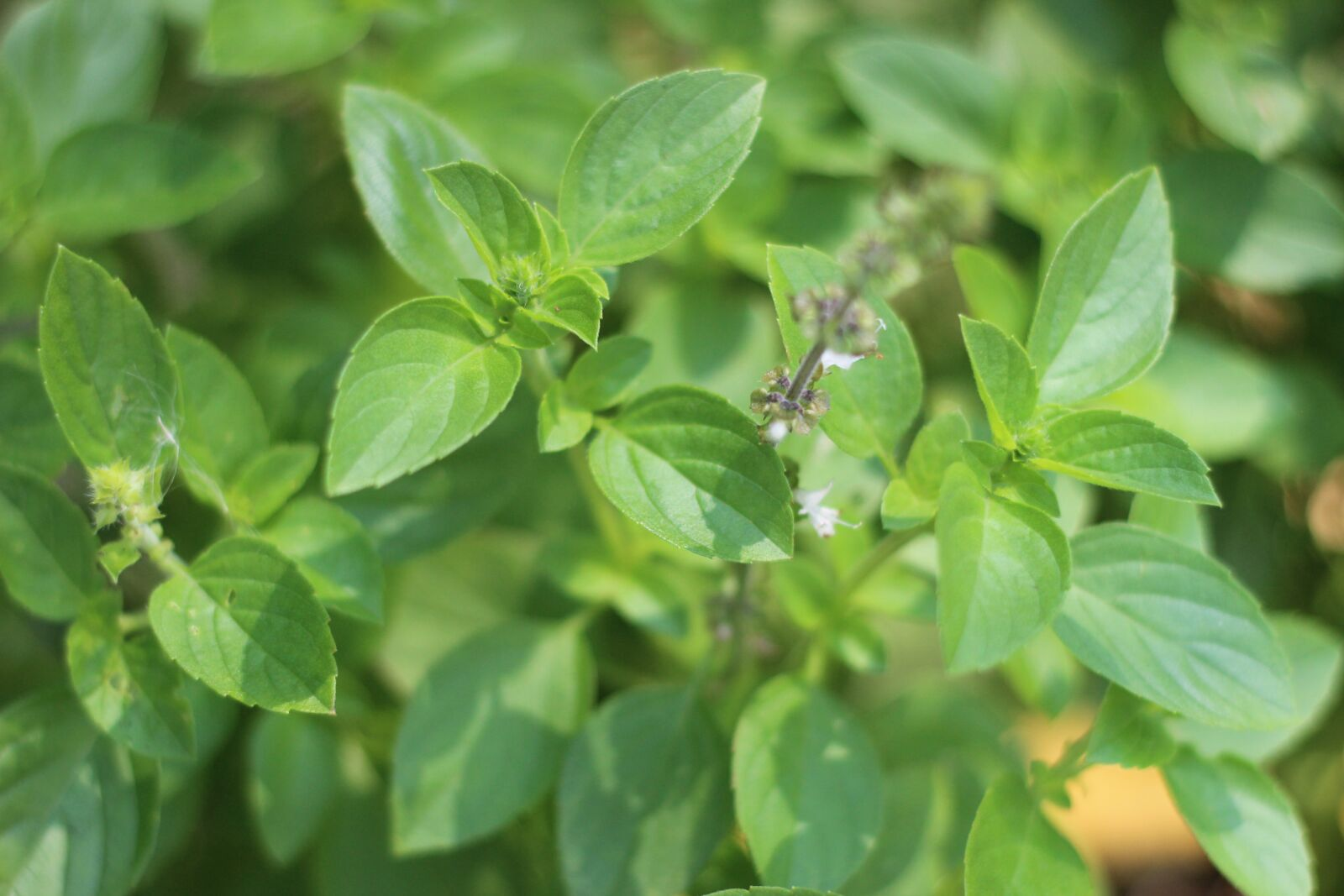 "Canon EOS 600D (Rebel EOS T3i / EOS Kiss X5) sample photo. ""Basil, plant, green"" photography"