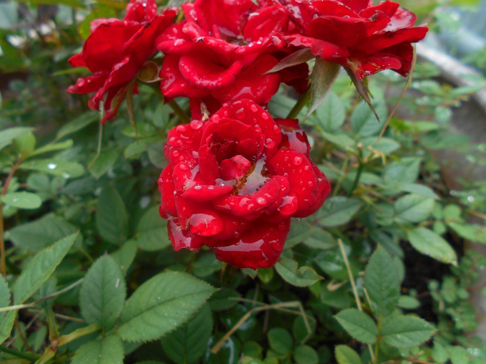 roses, raindrops, flower