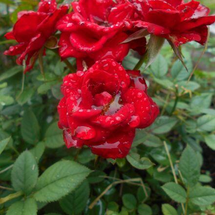 roses, raindrops, flower, Nikon COOLPIX L28