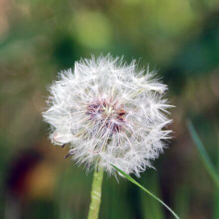 dandelion, flower, furry, Canon EOS 1100D