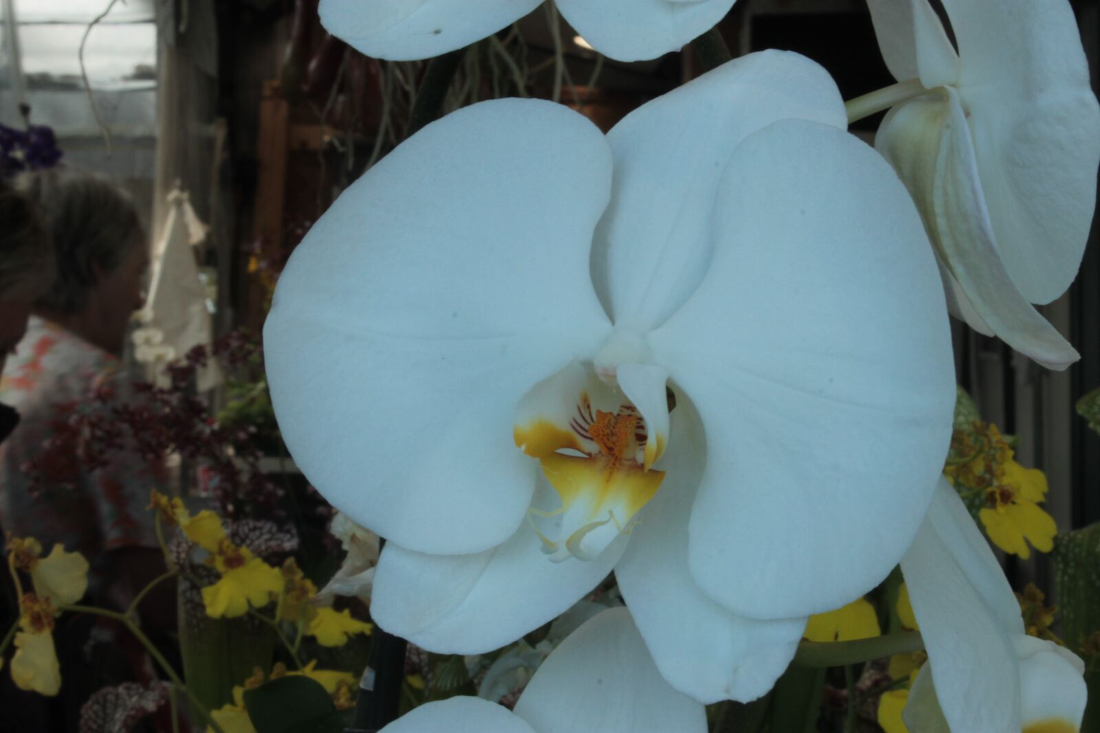 """Canon EOS 1100D (EOS Rebel T3 / EOS Kiss X50) sample photo. """"Orchid, white, france"""" photography"""