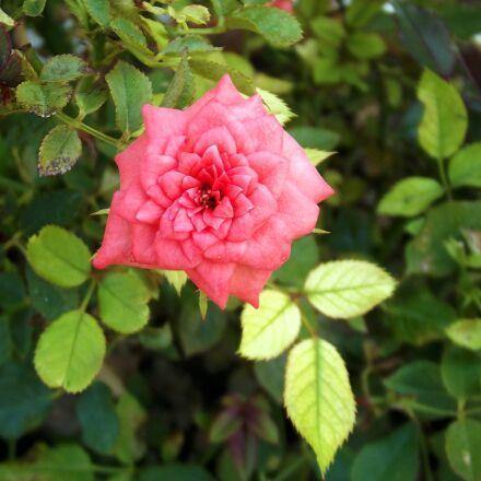 rose, pink, pink roses, Fujifilm FinePix S2980