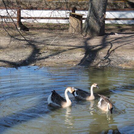 geese, pond, swim, Canon EOS 1100D