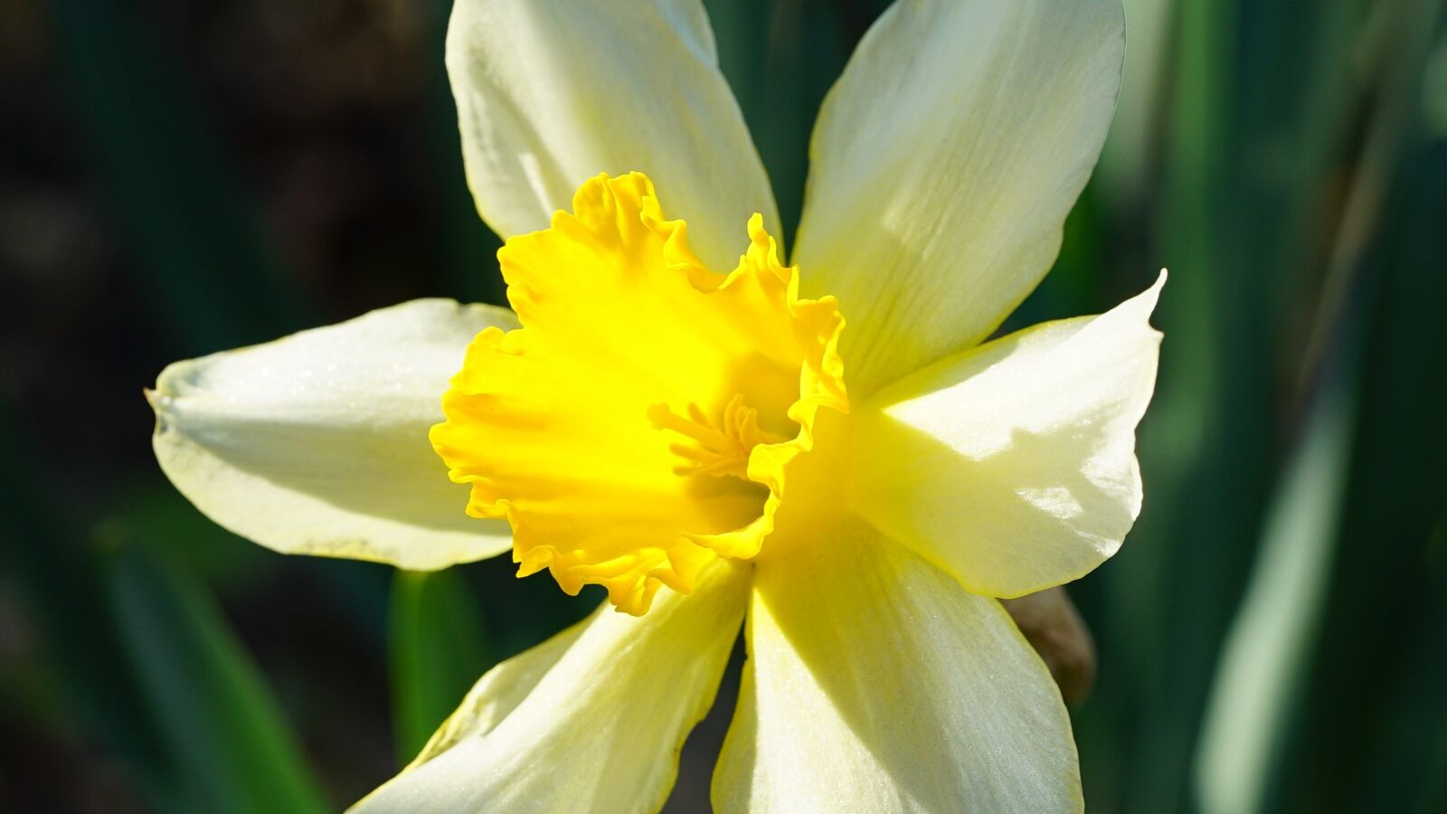 """Sony a7S sample photo. """"Daffodil, flower, nature"""" photography"""