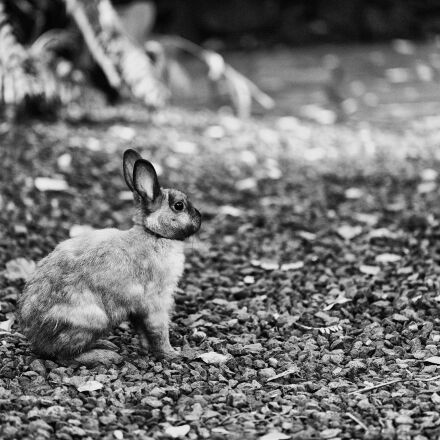 black, and, white, bunny, Canon EOS 6D