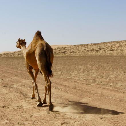 dromedary, camel, desert, Sony NEX-5