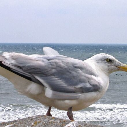 bird, feather, seagull, sea, Fujifilm FinePix A345