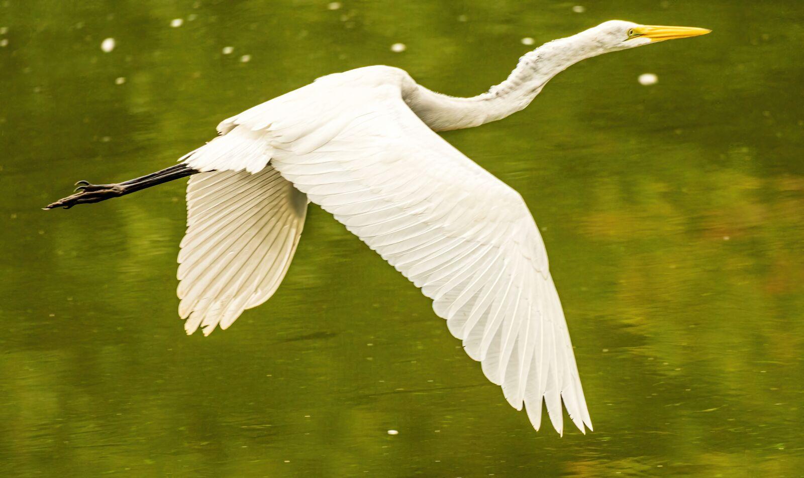 "Sony a6400 sample photo. ""Egret flying, egret closeup"" photography"