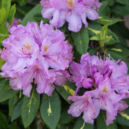 flowers, Canon EOS 550D