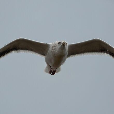 animal, sky, sea gull, Nikon COOLPIX A900