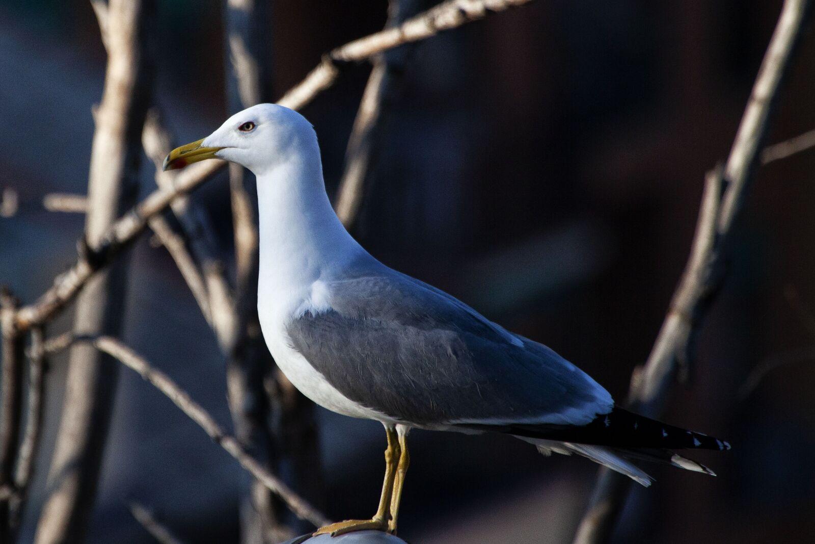 seagull, nature, animal