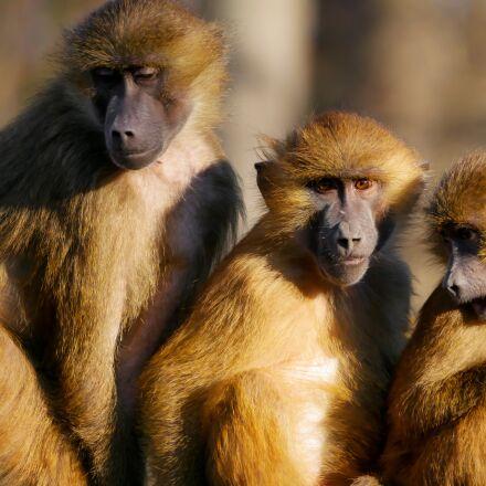 animals, ape, berber monkeys, Panasonic DMC-G70
