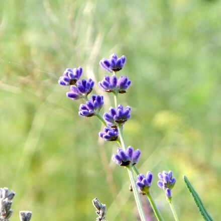 lavender, flower, purple, Fujifilm FinePix F550EXR