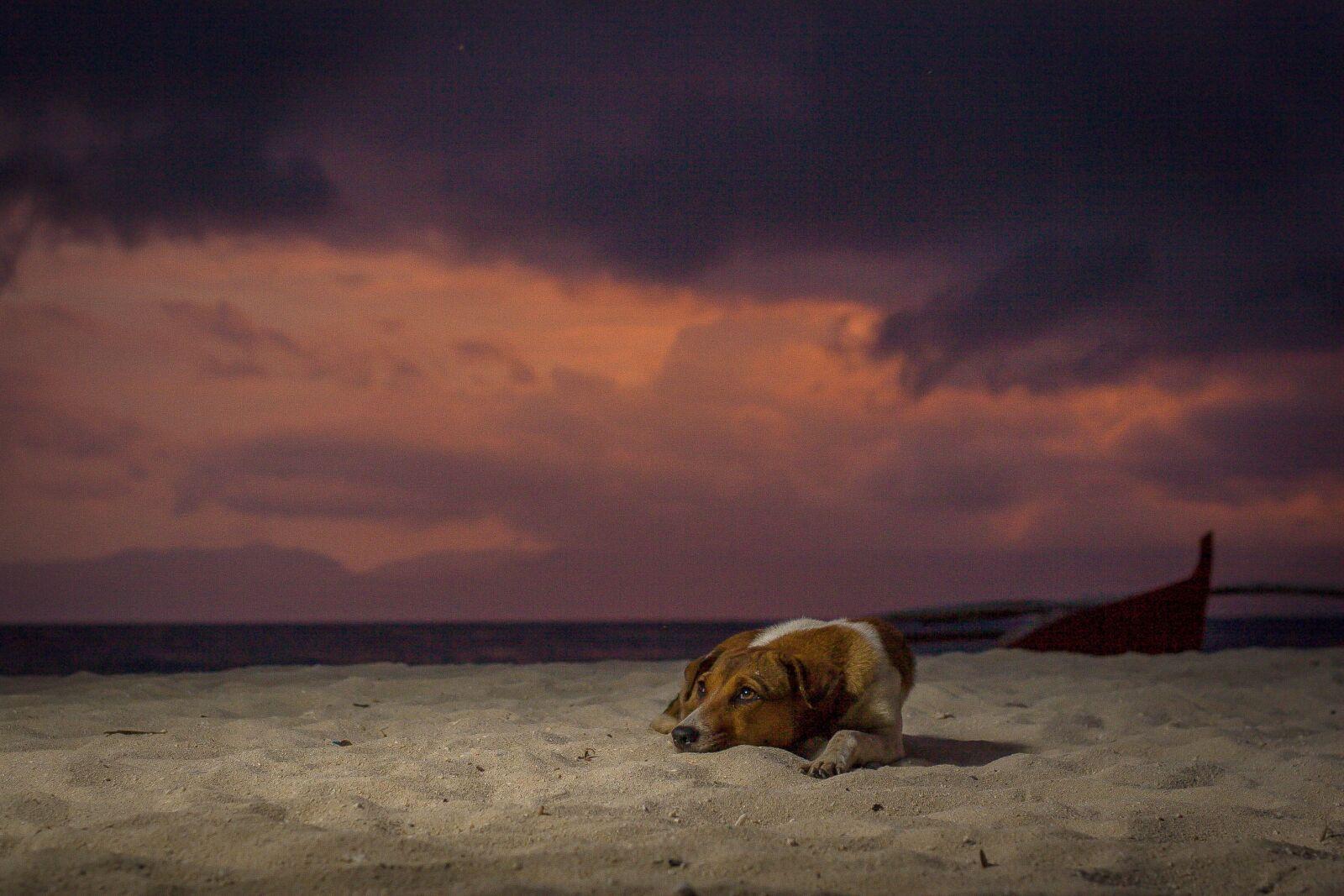 dog, stray, sunset