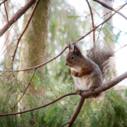 squirrel, forest, tree, Canon EOS 70D