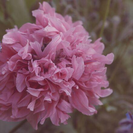 poppy, peony, flower, Canon EOS 5D MARK II