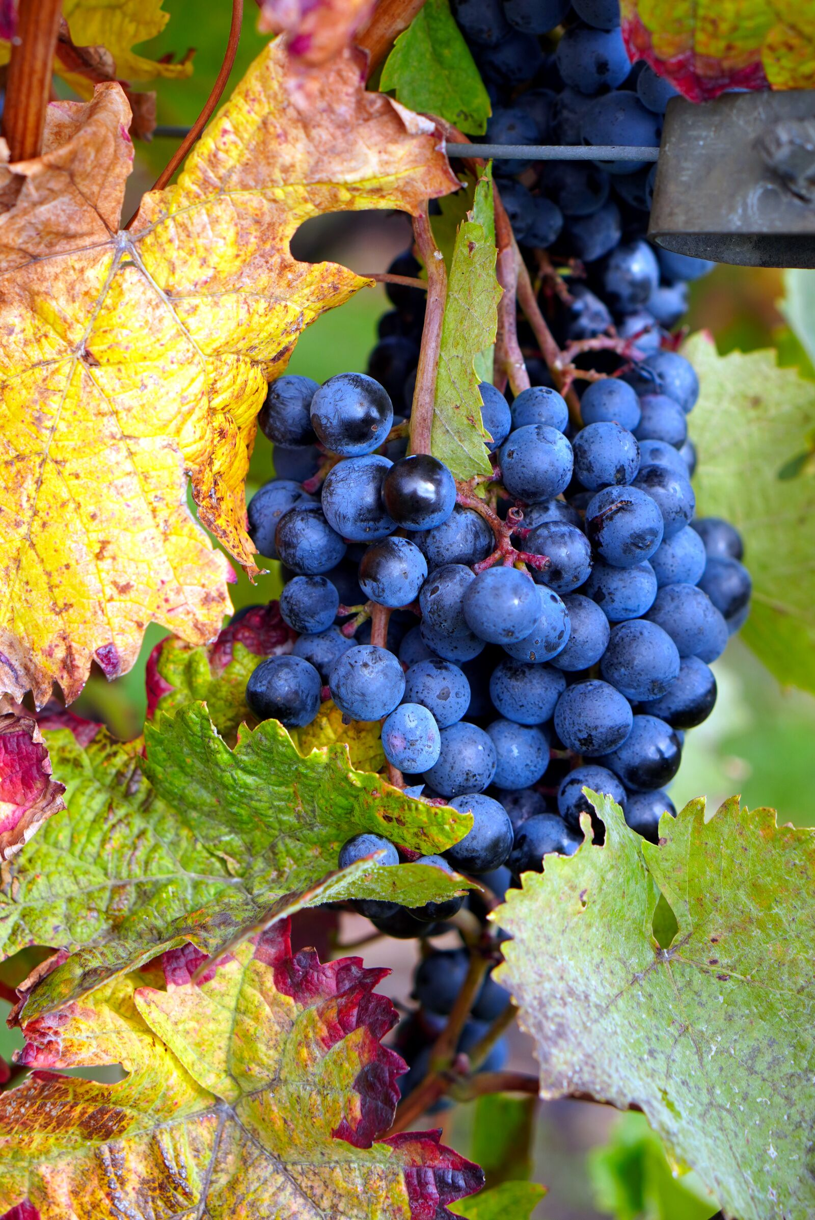 """Sony a6400 sample photo. """"Grapes, vine, fruit"""" photography"""