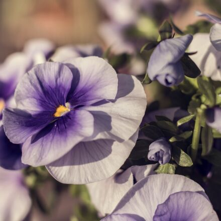 flower, purple, blossom, Canon EOS 700D