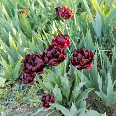 tulips, black, flowers, Nikon COOLPIX L330