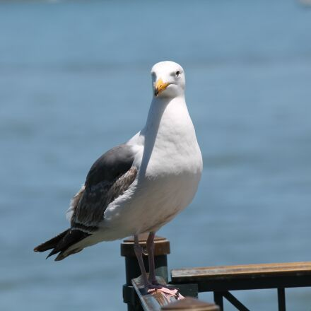 seagull, sea, bird, Canon EOS 1100D