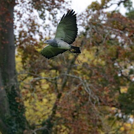 grey buzzard eagle, bird, Canon EOS 7D MARK II