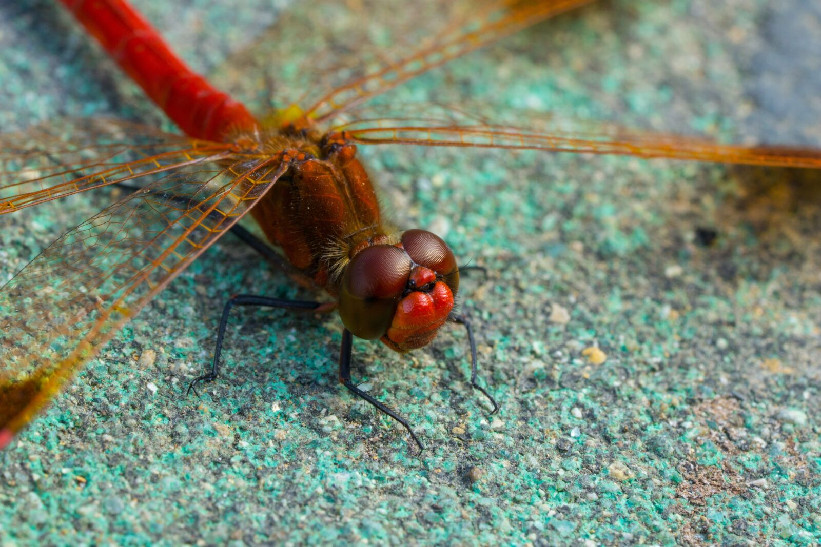 """Sony a6000 sample photo. """"Dragonfly, insects, macro"""" photography"""
