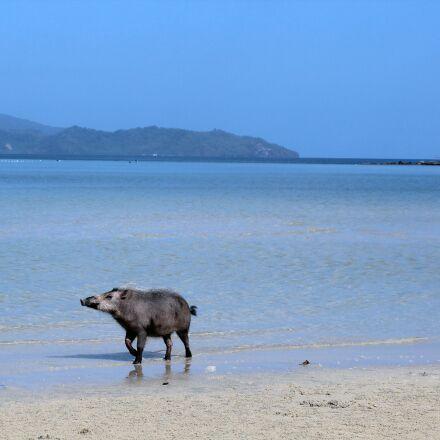 sea, beach, domestic pig, Canon EOS 600D