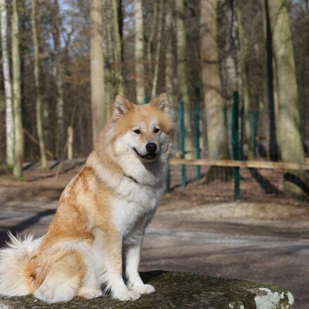 eurasians, dog, pet, Canon EOS 6D