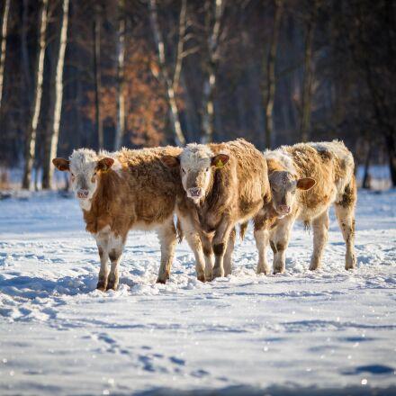 cows, beef, cow, Canon EOS 6D