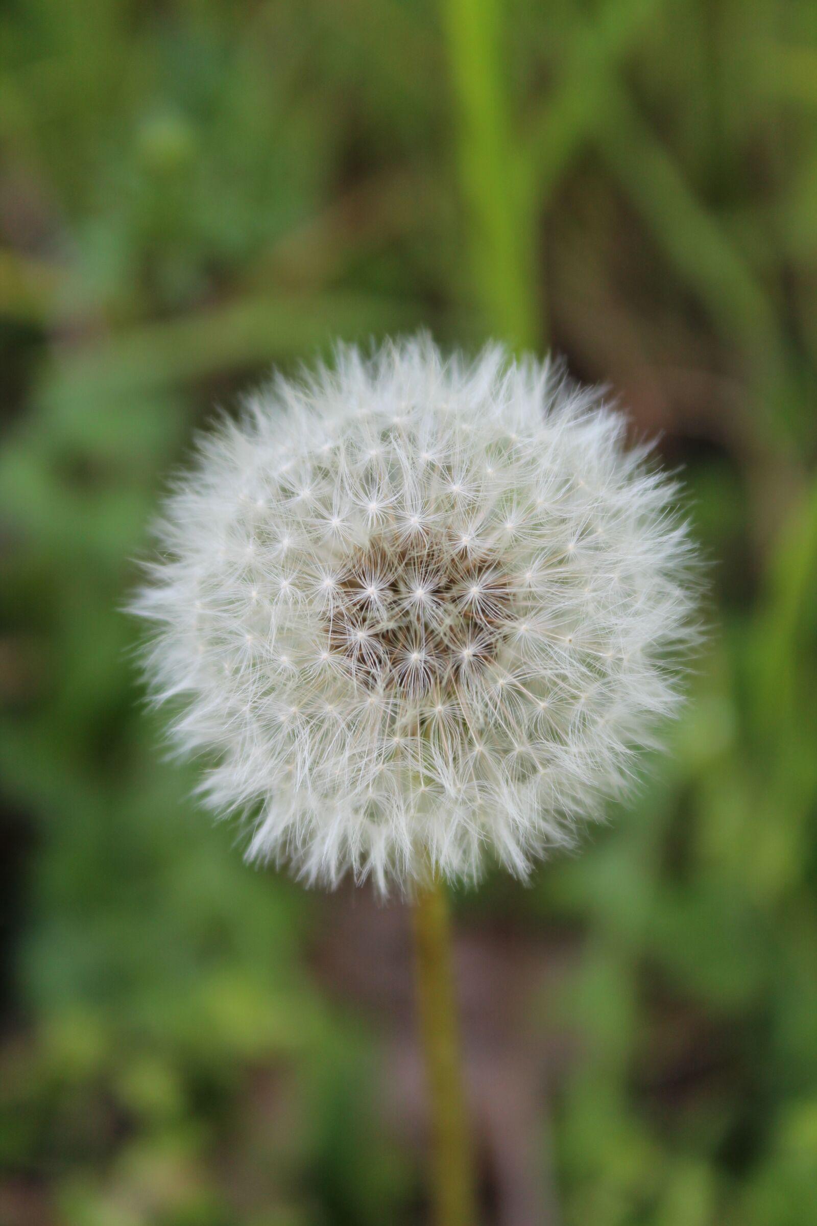 "Canon EOS 1100D (EOS Rebel T3 / EOS Kiss X50) sample photo. ""Dandelion, flower, plant"" photography"
