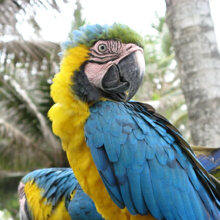macaw, palm, trees, Canon POWERSHOT A710 IS