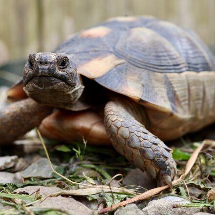 turtle, tortoise, greek tortoise, Canon EOS M50