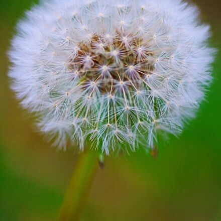 dandelion, nature, flower, Canon EOS 750D