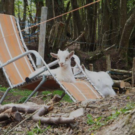 goat, deck chair, rest, Fujifilm FinePix F550EXR