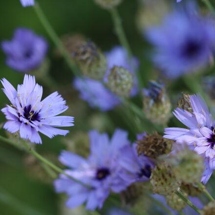 blue, flowers, Canon EOS 760D