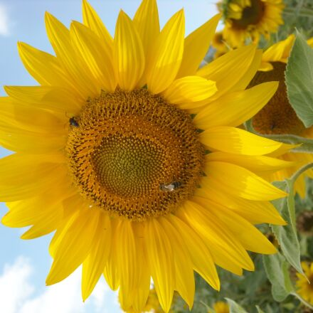 sunflower, nature, yellow, Nikon COOLPIX L15