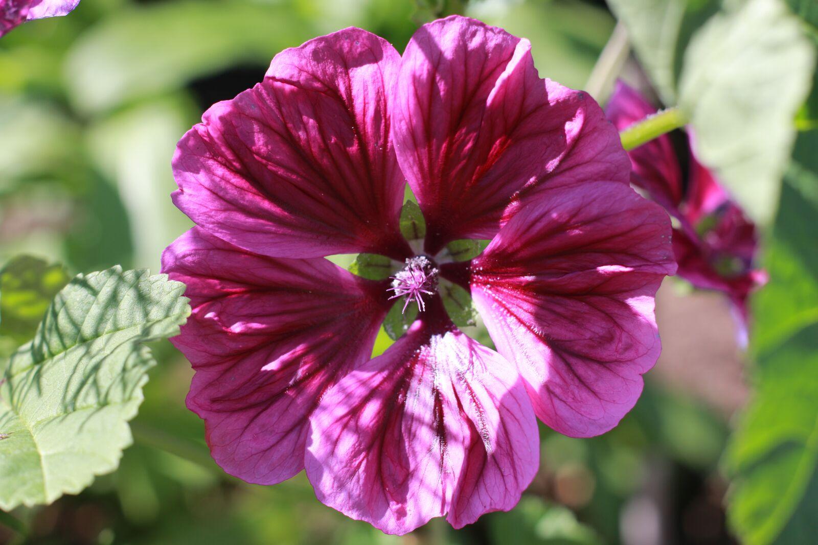 "Canon EOS 70D sample photo. ""Blume, lila, purple"" photography"