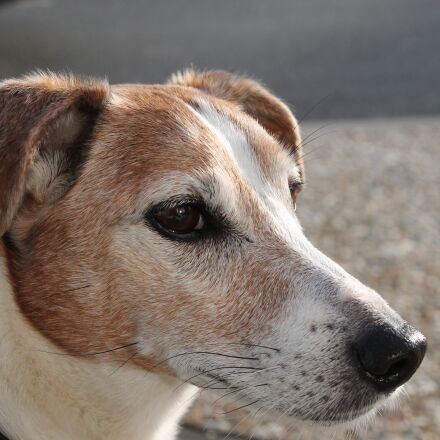 jack russell, dog, happy, Canon EOS 1100D
