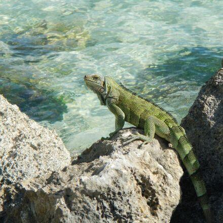 iguana, guadeloupe, tropical, Nikon COOLPIX AW100