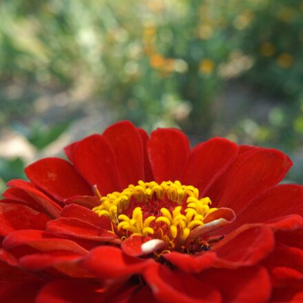 zinnia, flower, red, Sony ILCE-3000