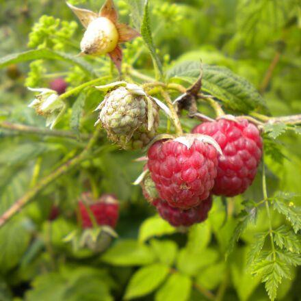 raspberry, berry, fruits, Nikon COOLPIX S225