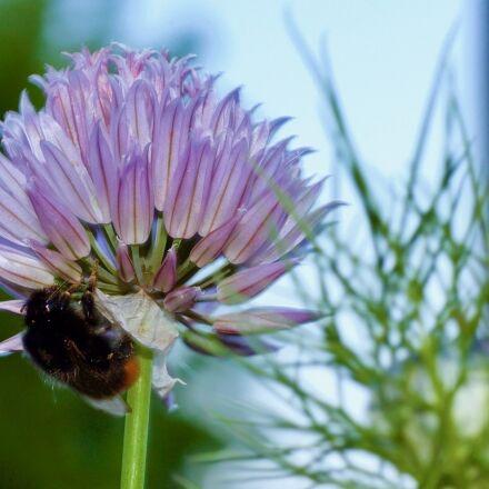 bee, flower, allium, Canon EOS 1100D