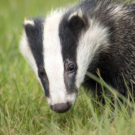 badger, wildlife, english, Canon EOS 700D