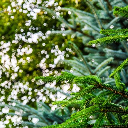 bokeh, green, spruce, sun, Canon EOS 7D