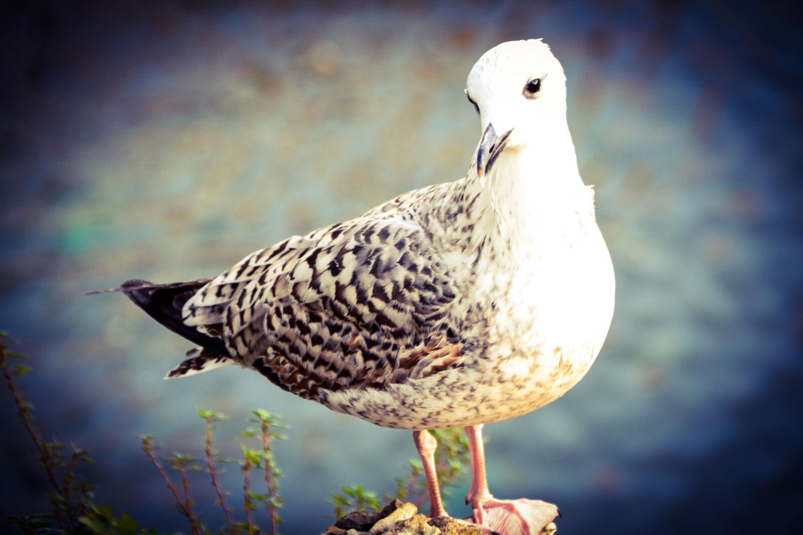 "Nikon D3100 sample photo. ""Bird, cool, lake, seagull"" photography"