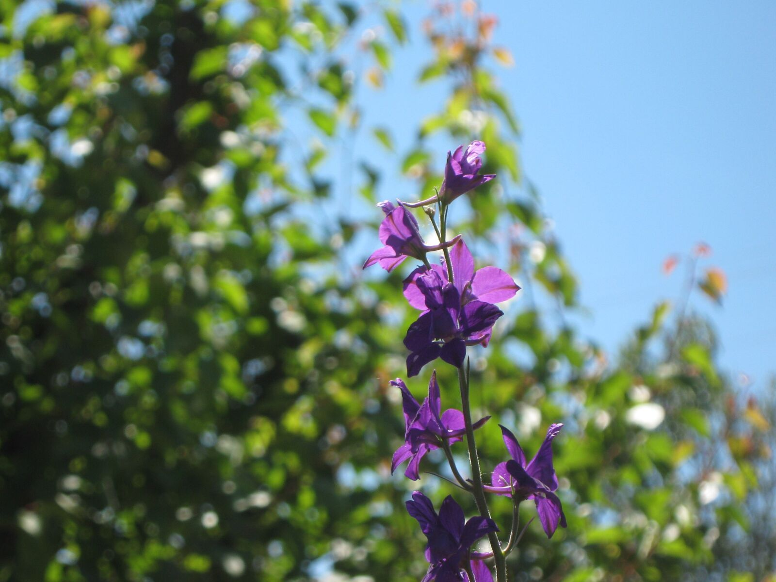 "Canon PowerShot A470 sample photo. ""Sky, flower, garden"" photography"