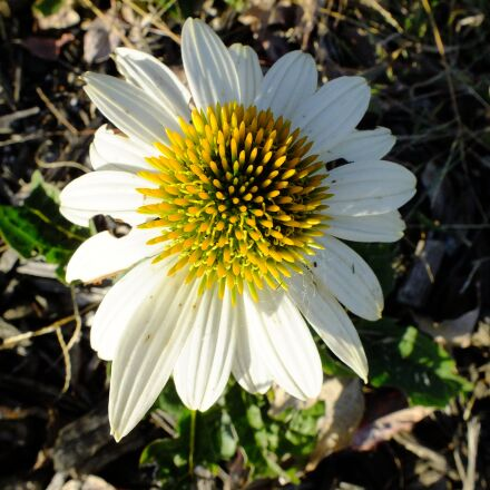 daisy, flower, blossom, Fujifilm FinePix HS25EXR
