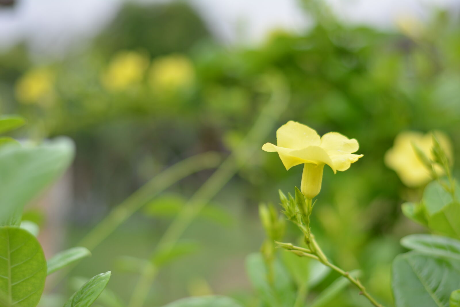 "Nikon D5200 sample photo. ""Bokeh, yellow, flowers"" photography"